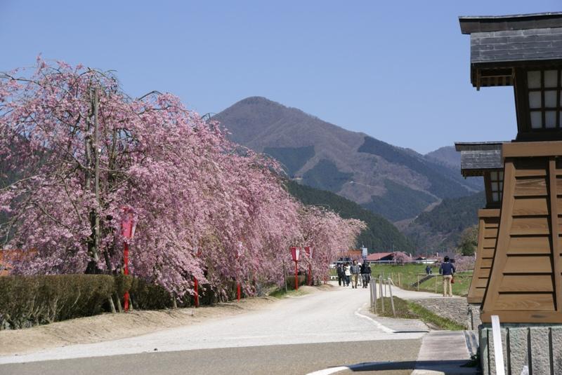 新庄村の枝垂れ桜と笠杖山